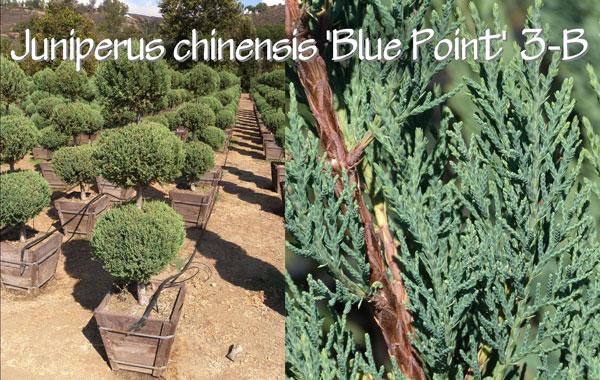 Juniperus-chinensis-'Blue-Point'-3-B