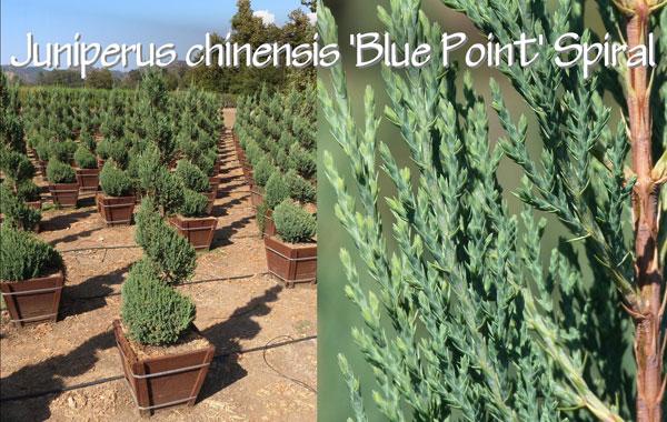 Juniperus-chinensis-'Blue-Point'-Spiral