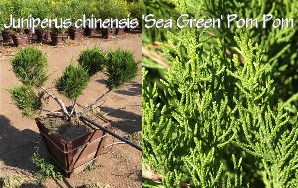 Juniperus-chinensis-'Sea-Green'-Pom-Pom