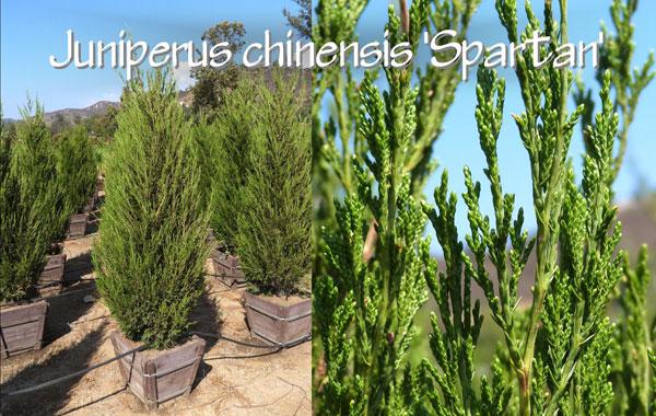 Juniperus-chinensis-'Spartan'