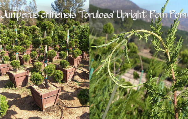 Juniperus-chinensis-'Torulosa'-Upright-Pom-Pom