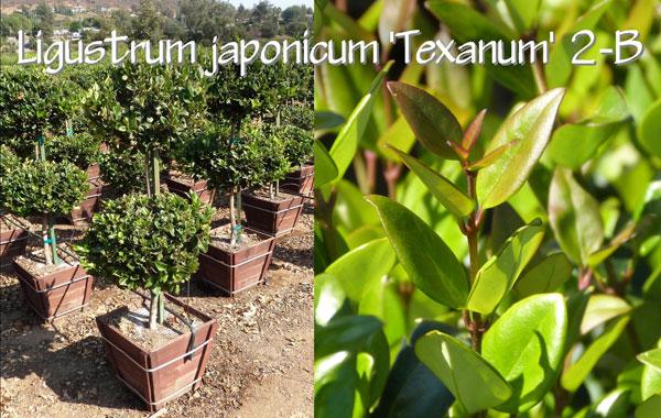 Ligustrum-japonicum-'Texanum'-2-B