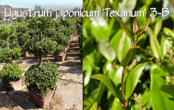 Ligustrum-japonicum-'Texanum'-3-B