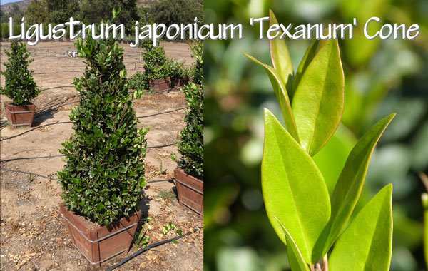Ligustrum-japonicum-'Texanum'-Cone