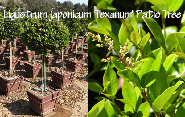 Ligustrum-japonicum-'Texanum'-Patio-Tree