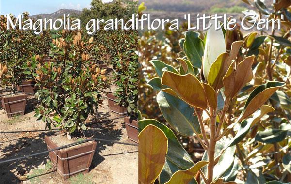 Magnolia-grandiflora-'Little-Gem'