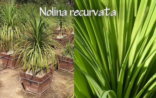 Nolina-recurvata