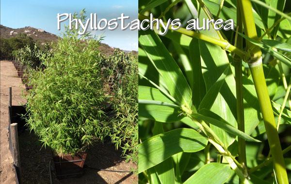 Phyllostachys-aurea