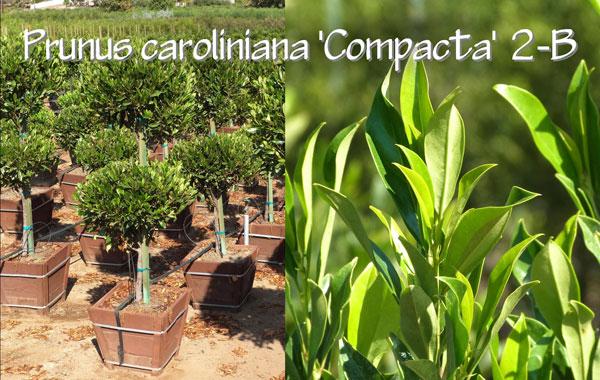 Prunus-caroliniana-'Compacta'-2-B