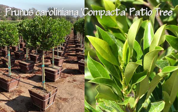 Prunus-caroliniana-'Compacta'-Patio-Tree