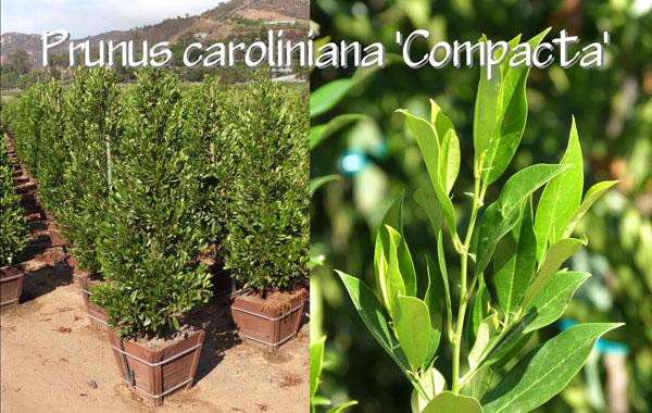Prunus-caroliniana-'Compacta'