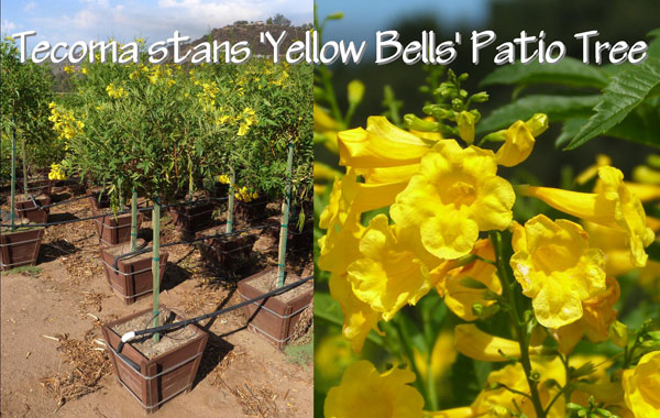 Tecoma-stans-'Yellow-Bells'-Patio-Tree