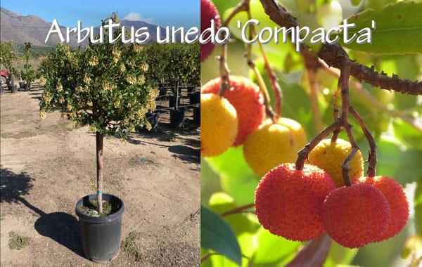 Arbutus-unedo-'Compacta'