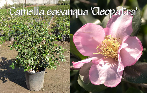 Camellia-sasanqua-'Cleopatra'