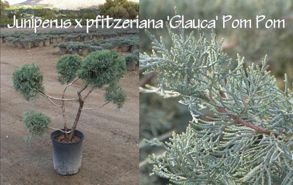 Juniperus-x-pfitzeriana-'Glauca'-Pom-Pom