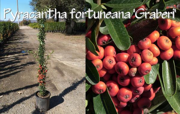 Pyracantha-fortuneana-'Graberi'