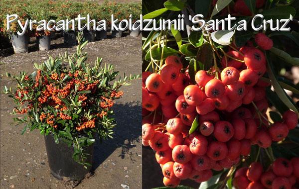 Pyracantha-koidzumii-'Santa-Cruz'