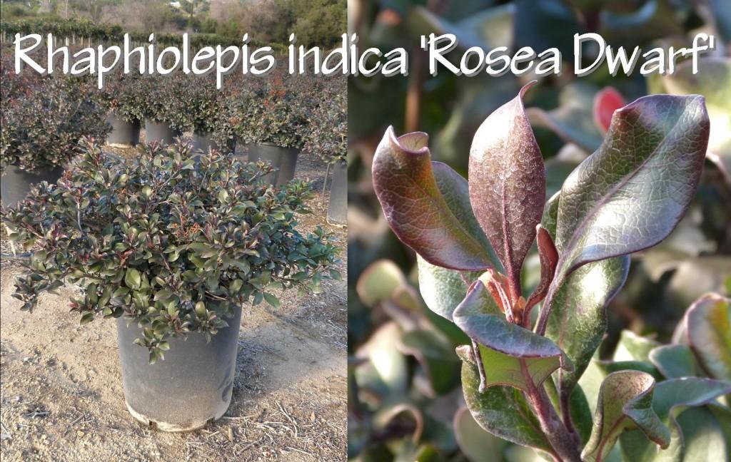 Rhaphiolepis indica 'Rosea Dwarf'