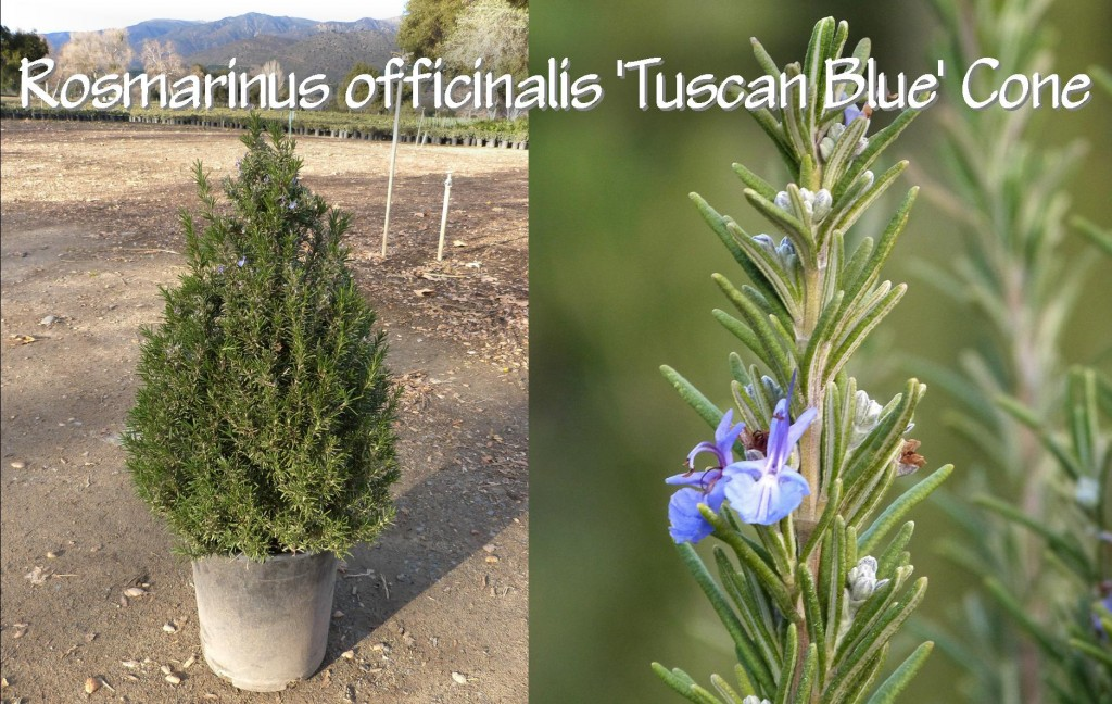 Rosmarinus officinalis 'Tuscan Blue' Cone