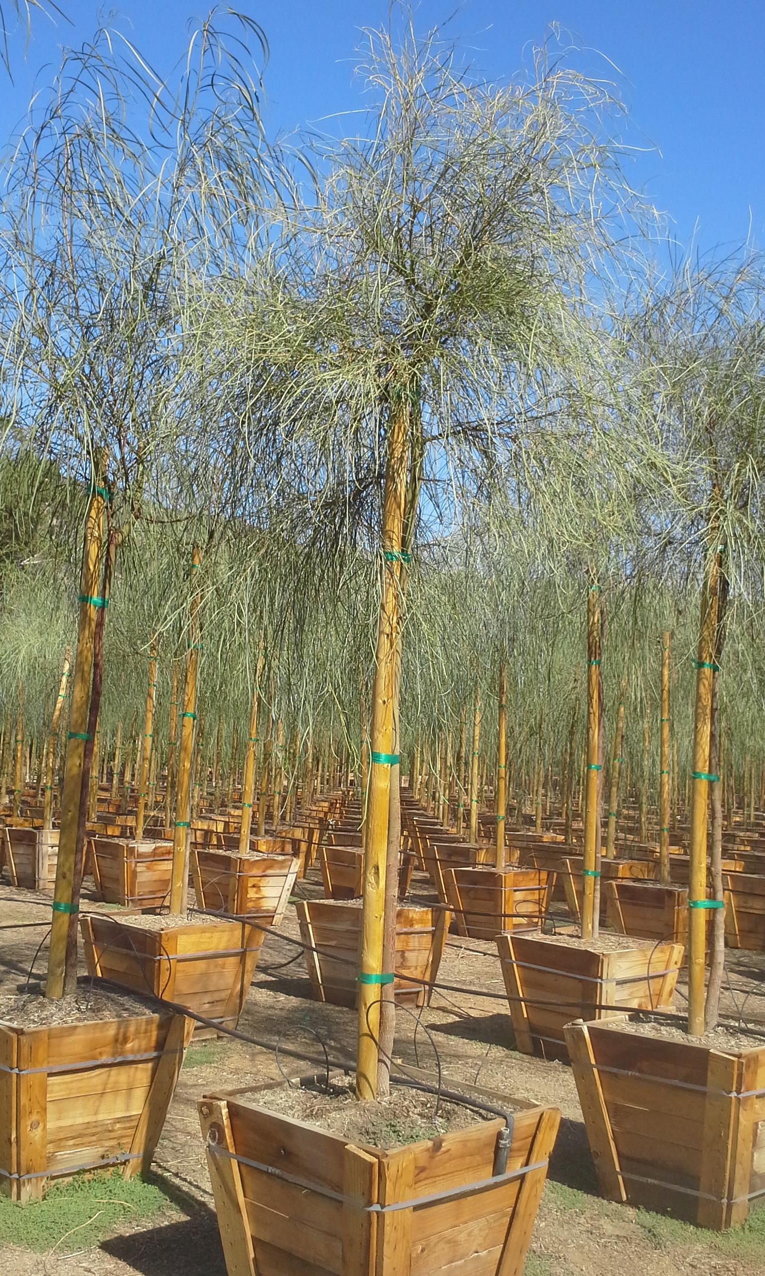 Acacia Stenophylla T Y Nursery