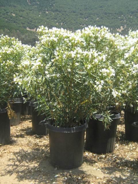Nerium oleander dwarf white t y nursery nerium oleander spandwarf mightylinksfo