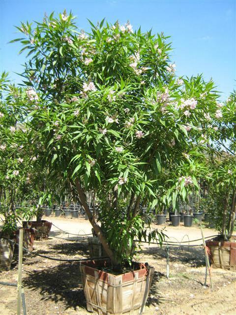 Chitalpa Tashkentensis Pink Dawn T Y Nursery