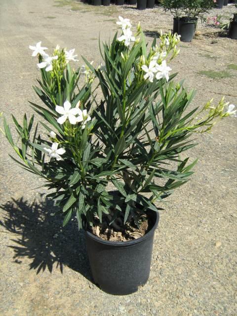 Nerium oleander white t y nursery nerium oleander spanwhitespan mightylinksfo