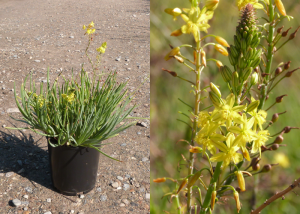 Bulbine-frutescens-Yellow