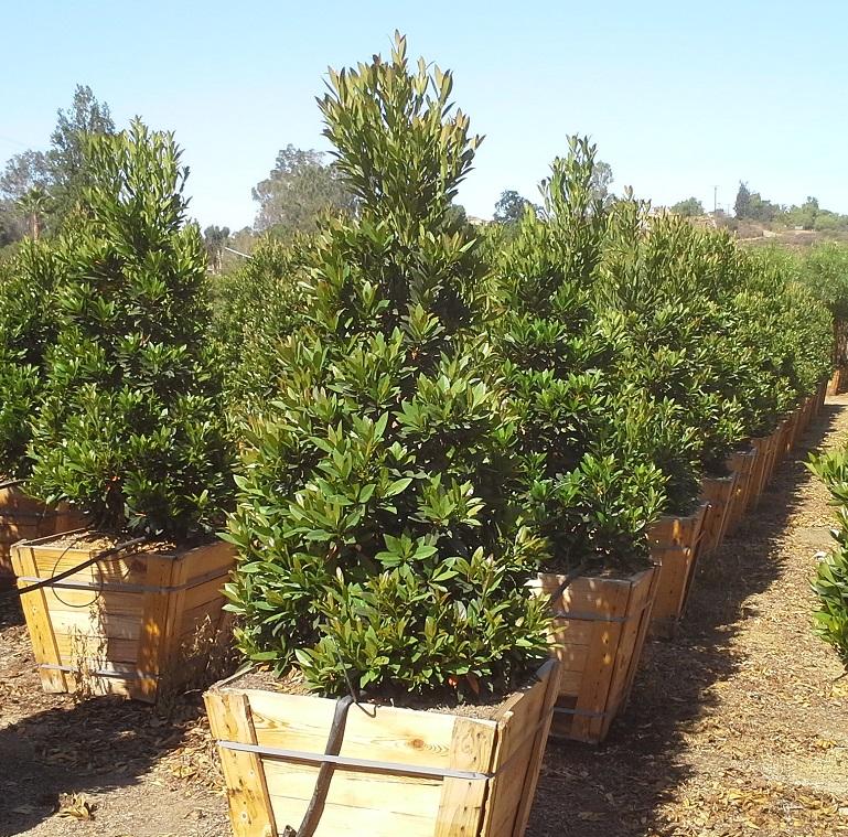 Elaeocarpus Decipiens T Y Nursery