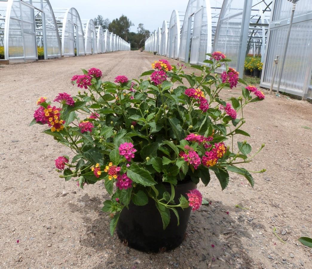 Lantana Hybrid Irene T Y Nursery