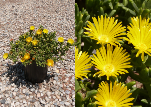Malephora-lutea