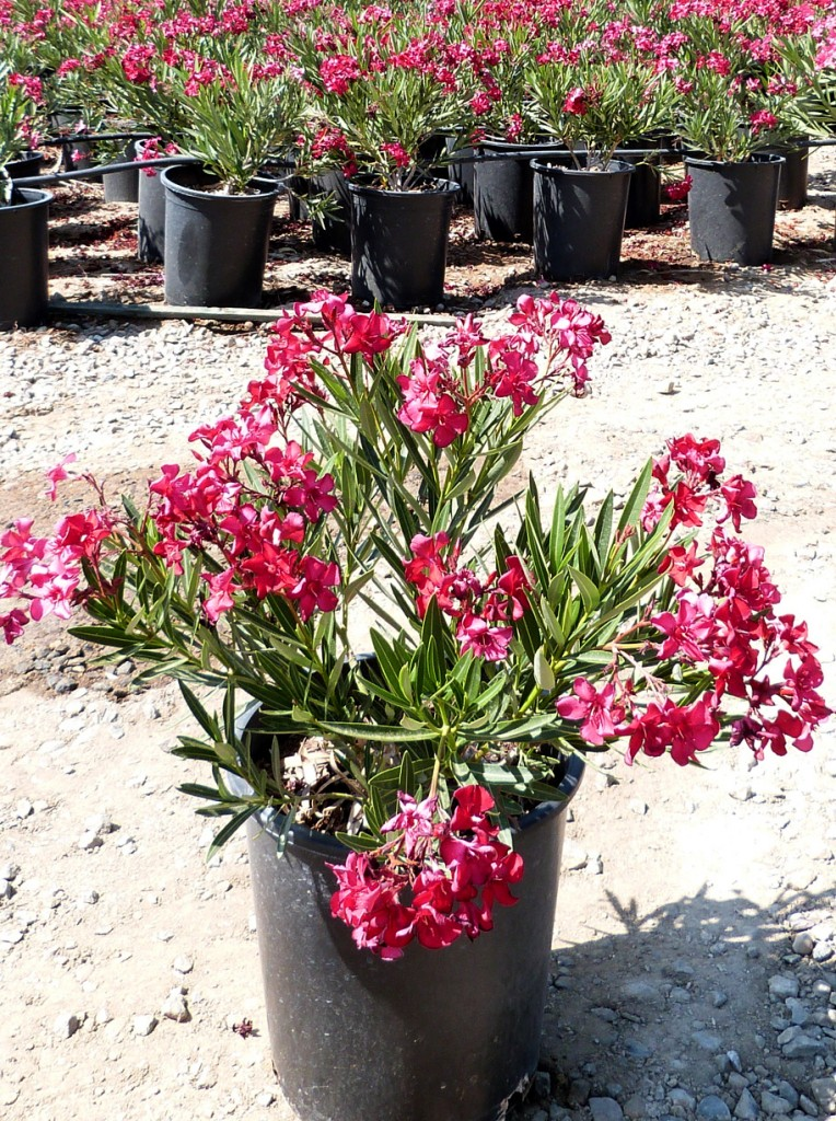 red oleanders as a thesis play The basic op-ed format lead paragraph: try to grab readers right away with your first sentence make them want to read more start with an interesting story or example that encapsulates your point.