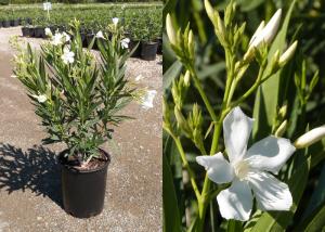 Nerium-oleander-White