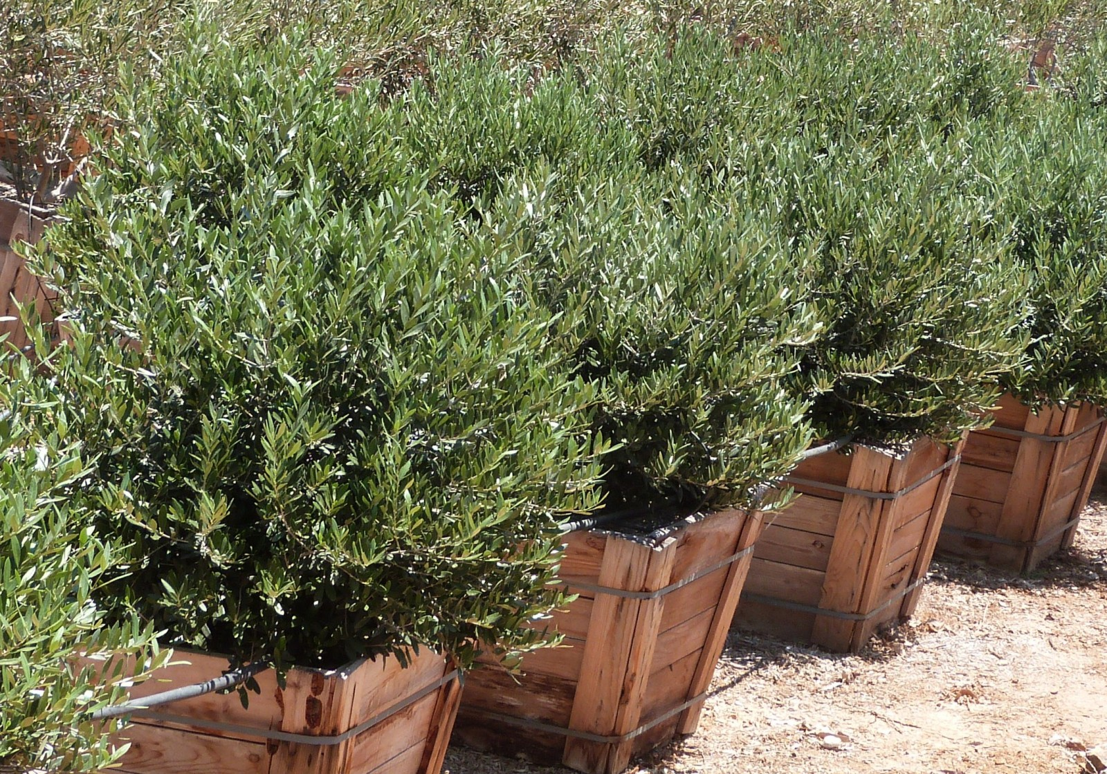 Picture of Live Olive (dwarf, fruitless) aka Olea eur. 'Dwarf Fruitless' std Plant Fit 5 Gallon Pot