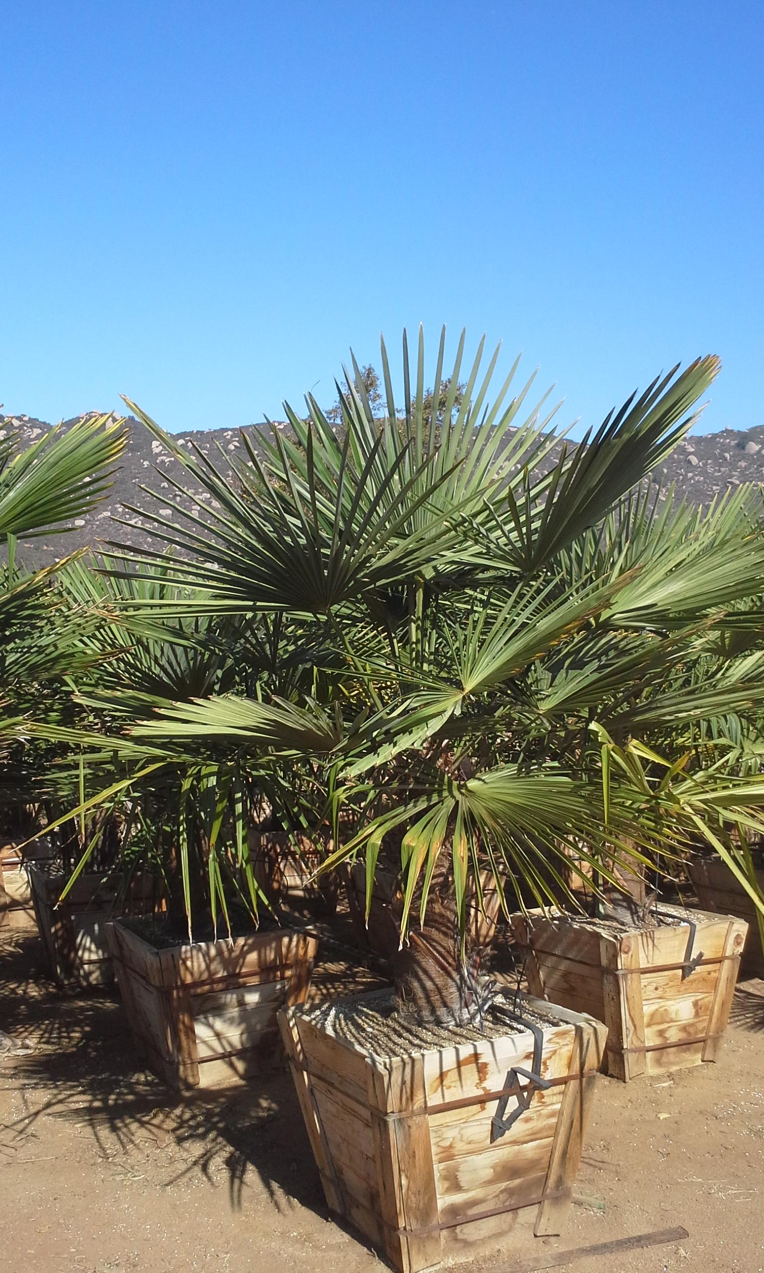 palm trachycarpus fortunei t y nursery. Black Bedroom Furniture Sets. Home Design Ideas