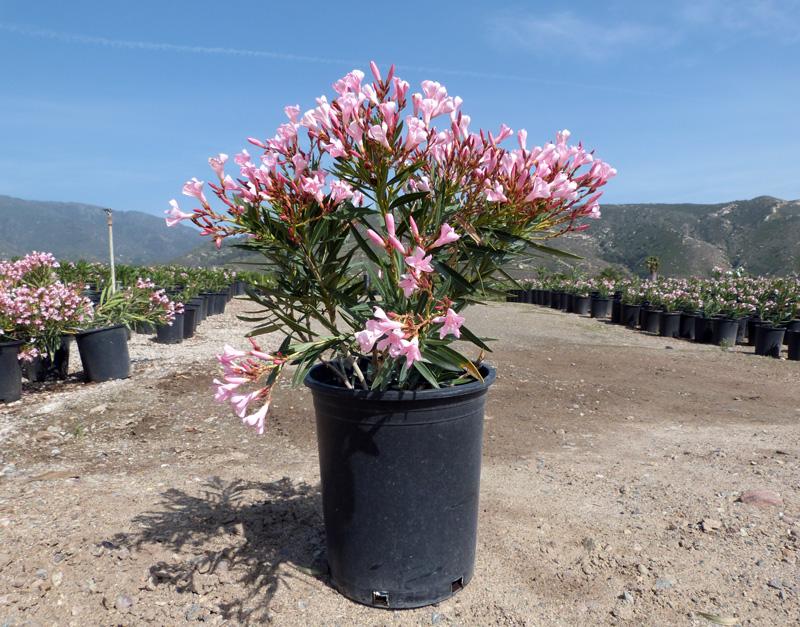 Nerium oleander petite pink t y nursery nerium oleander spanpetite mightylinksfo