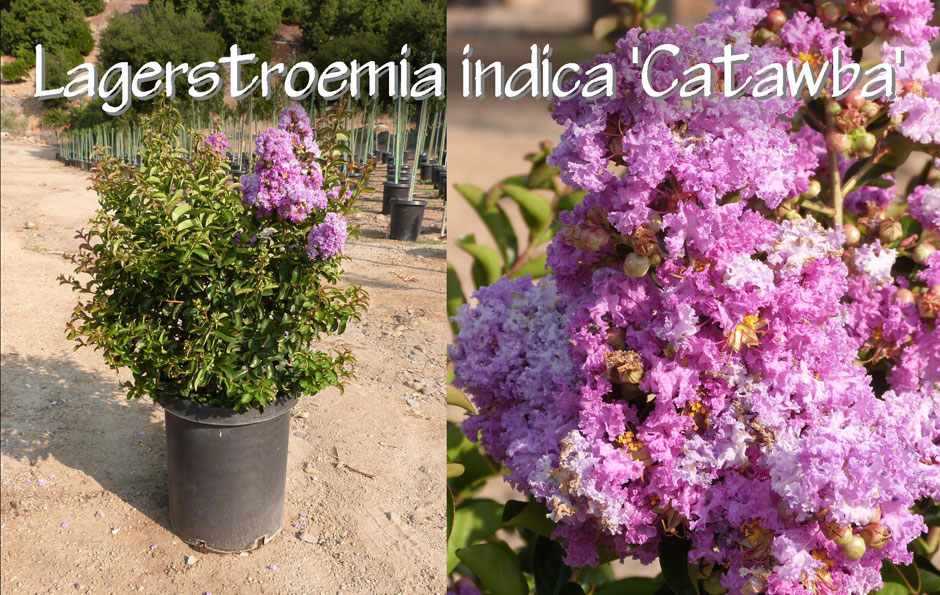 Lagerstroemia-indica-'Catawba'_13