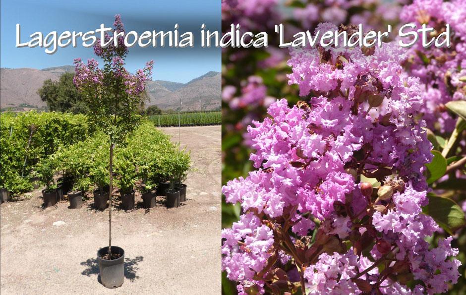 Lagerstroemia-indica-'Lavender'-Std_13
