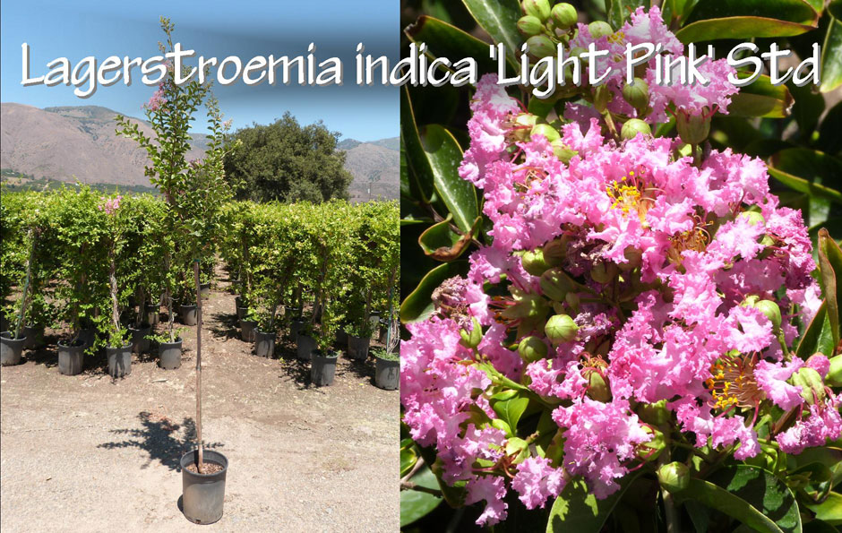 Lagerstroemia-indica-'Light-Pink'-Std_13