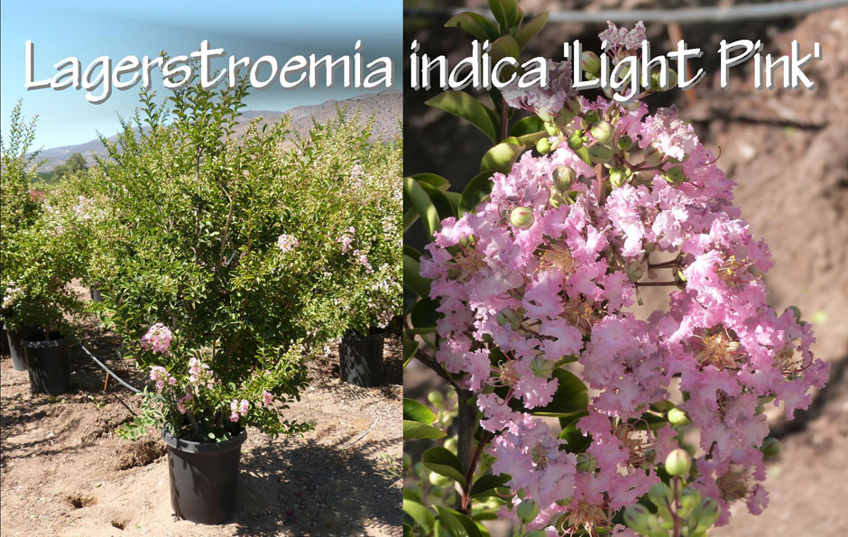 Lagerstroemia-indica-'Light-Pink'_13