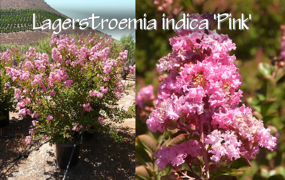 Lagerstroemia-indica-'Pink'_13