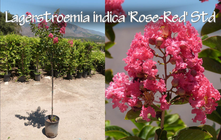 Lagerstroemia-indica-'Rose-Red'-Std_13
