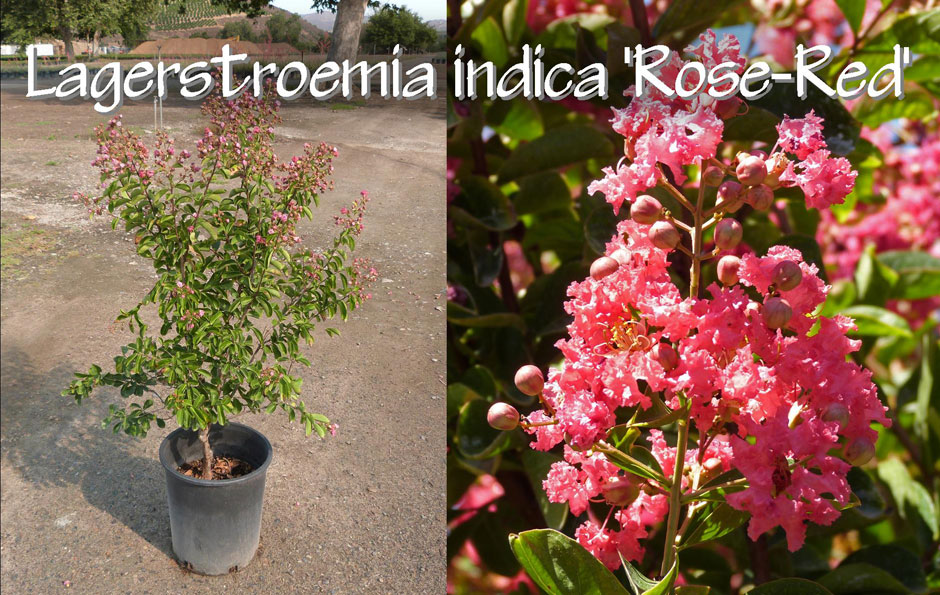 Lagerstroemia-indica-'Rose-Red'_13