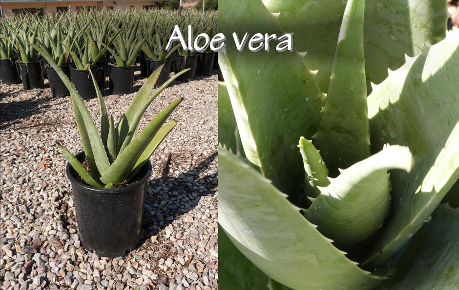 Aloe-vera_13