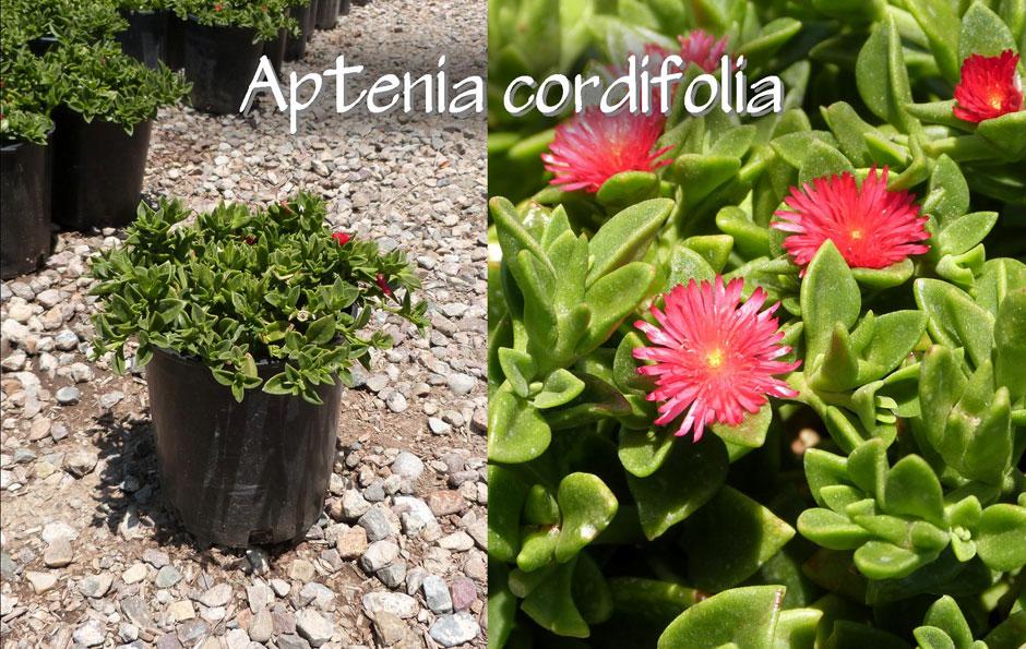 Aptenia-cordifolia_13