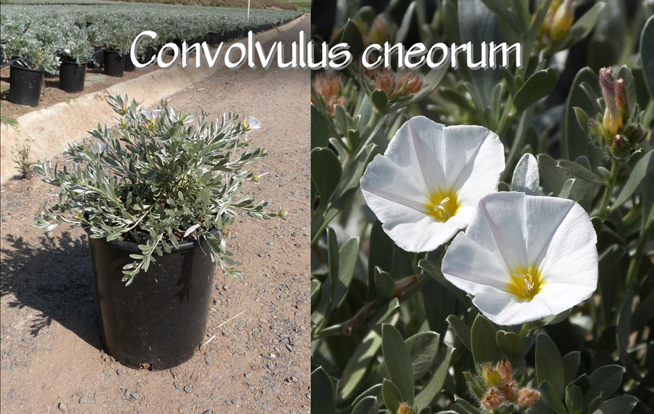 Convolvulus-cneorum_13