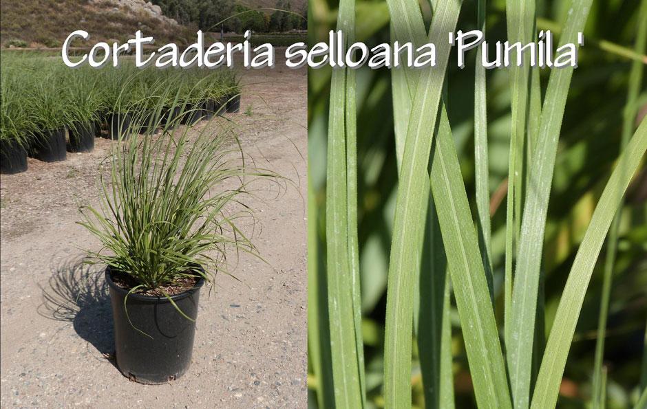 Cortaderia-selloana-'Pumila'_13