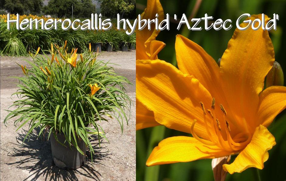 Hemerocallis-hybrid-'Aztec-Gold'_13