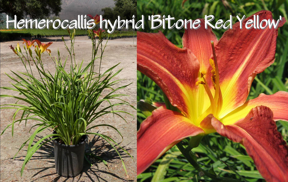 Hemerocallis-hybrid-'Bitone-Red-Yellow'_13