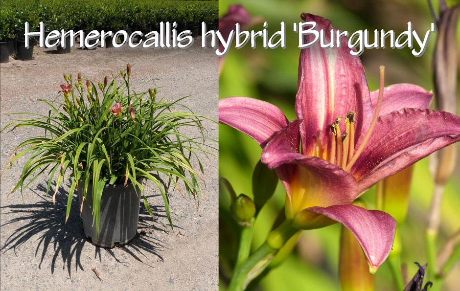Hemerocallis-hybrid-'Burgundy'_13